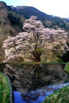 Komatsunagi no Sakura, Nagano, Japan. Photo: MInamiShinshu