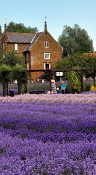 Norfolk Lavender - wish that I could wake up to this every summer