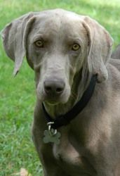 Reinhart is an adoptable Weimaraner Dog in North Augusta, SC. Reinhart is a stunning silver blue weimaraner. He was picked up as stray and in trouble at a high kill shelter. He is the typical active l...