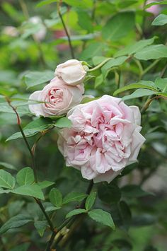 Found Tea Rose: Rosa 'Arcadia Louisiana Tea' (origins unknown, discovered in the U.S.)