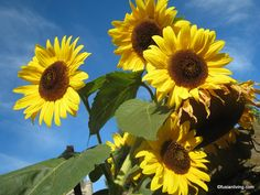 Sunflowers | Thumbelina and her Giant Sunflowers | Grow Your Own Veg Blog ...