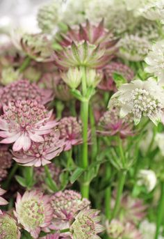 It's August and there are so many flowers to choose from these month, like this delicate Astrantia: http://jenkimmade.com/2013/08/05/get-to-know-these-august-flowers/