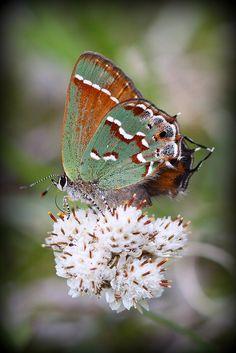 Iowa Butterflies (Juniper Hairstreak)