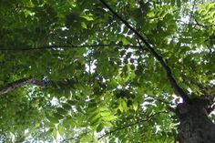 Could this endangered tree be the next Dutch Elm?