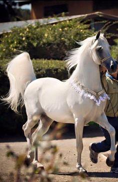 Arabian horse.                                                                                                                                                      More