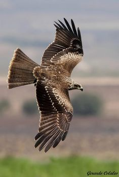Milvus migrans - Israel by Gerardo Colaleo on 500px