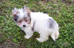 Yorkshirsky terier , Blueberry merle s PP - 1 Biewer Yorkie, Yorkies, Short Hair Cuts For Women, Short Hair Styles, Poodle, Best Dogs, Blueberry, Puppies, Animals