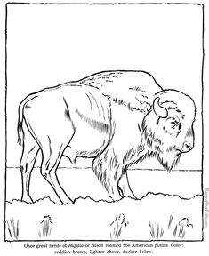 Click to see printable version of American buffalo (bison