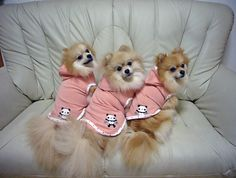 Pomeranians #triplets aww!!! The one on the left looks like Sam bear
