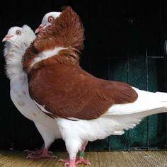 These pigeons enjoy Elizabethan literature.