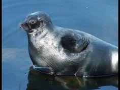 Ringed seal on lake Ladoga. Кольчатая нерпа на Ладожском озере - YouTube My Animal, Seals, Panther, Wildlife, Videos, Places, Youtube, Animals, Animaux