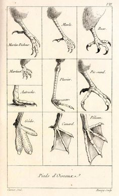 Pieds d'Oiseaux - The Feet of Birds You can clearly see the wide range of foot structures found in the Neornithes, and the intended us...