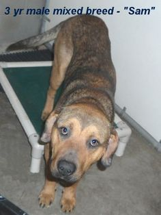 SAM ~ A nice shepherd/hound mix Male   He would love to be your special dog.;Please don't leave him in the shelter. Call Silvia and Debbie now,,,,,Silvia: 910-876-0539,  Debbie: 339-832-0806. If Silvia's mailbox is full you can Text her.  Transportation is generally available up and down the East Coast from NC, VA, MD, NJ, PA, NY and the North East.  No one will ever love you like a dog who was once abandoned! The Animal Control Facility for Bladen County, North Carolina IS a kill-shelter