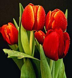 tulipanes rojos                                                                                                                                                      Más