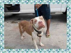 FIRE BALL (A1662747) I am a male brown and white Pit Bull Terrier. The shelter staff think I am about 2 years old. I was found as a stray and I may be available for adoption on 12/04/2014. — hier: Miami Dade County Animal Services. https://www.facebook.com/urgentdogsofmiami/photos/pb.191859757515102.-2207520000.1417305351./879420368759034/?type=3&theater