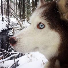 Huskies may be one of the most vocal dogs, but they also have a wide range of facial expressions to tell you how they feel.