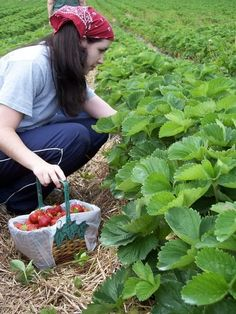 Organic Gardening How To Grow Organic Strawberries :D