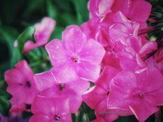 #phlox #gardenphlox #flowers #flower #floweroftheday #flowerporn #flowerslovers #flowerpower #flowerstalking #flowermagic #flowerstagram #flowersofinstagram #flowerphotography #macros #macro #macrophotography #digital #original #bjtuiningafineartanddesign #photooftheday #photography #thephotohour https://500px.com/bettytuininga http://www.bjtuiningafineart.com Email: bjtuiningafineart@yahoo.com