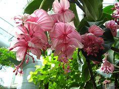 flowers australia live flowers   Medinilla Magnifica 01 , originally uploaded by chanicy2000 .