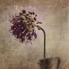 iPhoneography floral image and workflow – { allium }