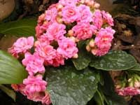 An exciting new variety is the Calandiva, a double-flower that looks like a cluster miniature roses and comes in a variety of colors. It has the same growing requirements as the Kalanchoe. Garden Plants, Indoor Plants, Birds And The Bees, Orchid Care, Plant Care, Garden Planning, Houseplants, Orchids, Succulents