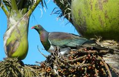 New Zealand wood pigeon in nikau palm tree
