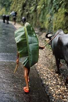 KATHMANDU, Nepal—A banana leaf serves as an umbrella for a boy herding water buffalo, © Steve McCurry / Magnum Photos Steve Mccurry, People Around The World, Around The Worlds, World Press Photo, Fotografia Social, Afghan Girl, World Cultures, Photojournalism, Monsoon