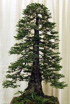 redwood bonsai✖️FOSTERGINGER AT PINTEREST ✖️ 感謝 / 谢谢 / Teşekkürler / благодаря / BEDANKT / VIELEN DANK / GRACIAS / THANKS : TO MY 10,000 FOLLOWERS✖️