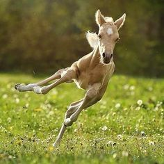 Crash in . I absolutely love foals omg! I always wanted one! Have you ever owned or cuddle a foal?😍 Unfortunately I never touch or owned a foal😥 . Baby Horses, Cute Horses, Horse Love, Most Beautiful Animals, Beautiful Horses, Horse Pictures, Animal Pictures, Nature Animals, Animals And Pets