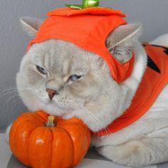 Whos the best #pumpkin ever? or... Follow us on Instagram :D #cats #cat #catlover #lovecats #funny #fun #cute #socute #feline #felines #felinefriend #fur #furry #paw #paws #kitten #kitty #kittens #kittycat #kittylove #fluffy #fluff