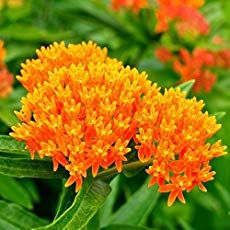 Butterfly Weed Care: How To Grow Asclepias Plant - Schmetterling Grow Butterflies, Butterfly Weed, Butterfly Plants, Flowers Garden, Monarch Butterfly, Fall Flowers, Orange Butterfly, Summer Flowers, Pretty Flowers