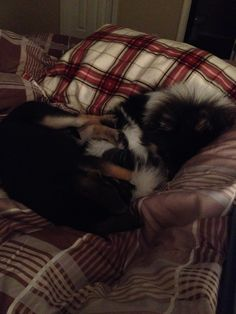 Curled up in our flannel sheets  #puppylove