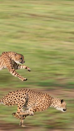 Do you think cheetahs could catch Road Runner?