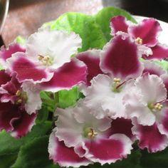 African Violet Optimara Millenia