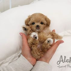 Toy Maltipoo, Maltipoo For Sale, Teacup Maltipoo, Teacup Maltese, Teacup Puppies For Sale, Cute Dogs And Puppies, Pet 1, Used Iphone, Tea Cups
