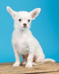 Jasper is an adoptable Chihuahua Dog in Bridgeton, MO. Jasper is a very sweet boy who was born in rescue on May 22 nd . Jasper is energetic, playful,and loves everyone. He gets along great with dogs,...