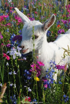 Baby Goat with Wildflowers cute colorful nature flowers baby field kid wildflowers goat