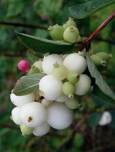 Snowberries.