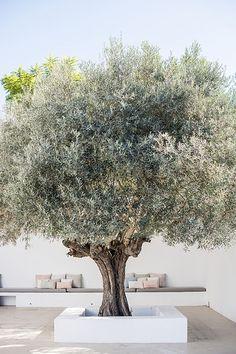 Olive tree in white  Olive tree in white plaster
