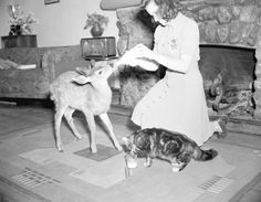 {A fawn and a cat being fed inside Forbidden Plateau Lodge} 1941, City of Vancouver Archives