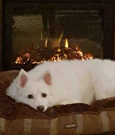 Niki Dogg, My 12 Year Old Eskie, Warming Her Old Bones, In Front Of The Fireplace.