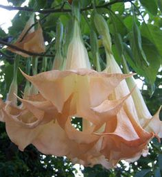 Angel Trumpet tree gives off a heavenly fragrance