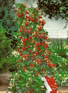 Growing strawberries in a tower keeps them off the ground. Love this idea, have done something similar in the past and had so many more strawberries, insects didn't get to them. I want to try this tower.