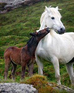 A Connemara pony and her foal oblige by posing cutely on the Sky Road near Clifden, Ireland All The Pretty Horses, Beautiful Horses, Animals Beautiful, Baby Horses, Wild Horses, Animals And Pets, Cute Animals, Connemara Pony, All About Horses