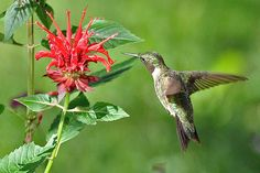 Ruby-throated Hummingbird at Bee Balm by Nancy Castillo