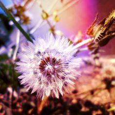Dandelion by FAD-DOLLS on DeviantArt