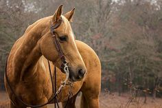 """Ranch Pleasure and Ranch Trail riders take notice of this gorgeous girl!    Zans Playboy Star, or """"Corona"""" is a 14.3hh 2010 AQHA registered palomino mare.  I bought her as a resell project and she's now ready to find a new loving home."""