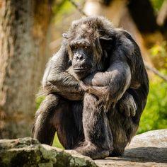 Free Image on Pixabay - Chimpanzee, Sitting, Sad, Mammal