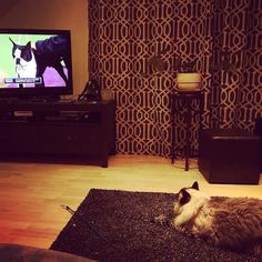 Boston cat checking out Boston terrier #WKCDogshow #cat #catsofinstagram #bostonterrier #boston #cambma #ridicarus by lcrhee February 15 2016 at 04:55PM