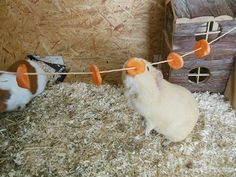 This is an image of a guinea pig that stands up on her legs to reach carrots on the food line.